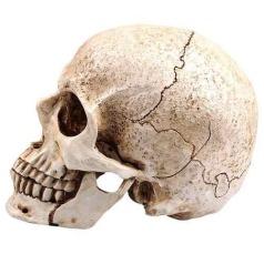 Craneo normal humano//Normal human skull