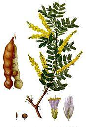 Acacia_senegal_-_Köhler–s_Medizinal-Pflanzen-004